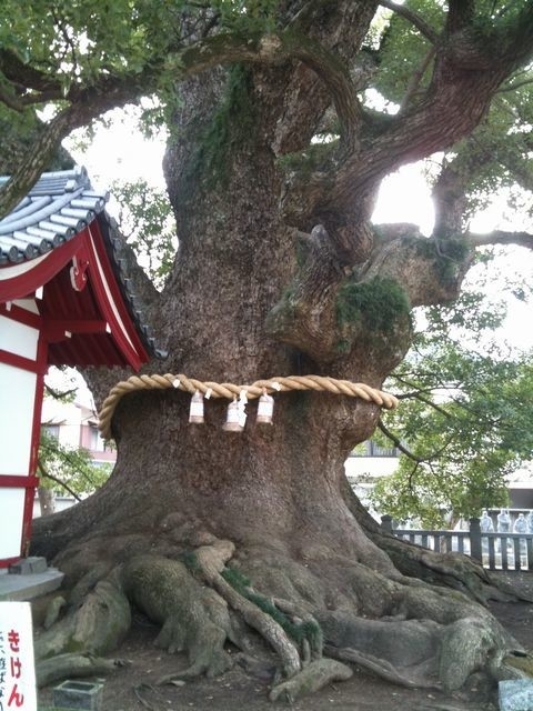 楠の大木その1
