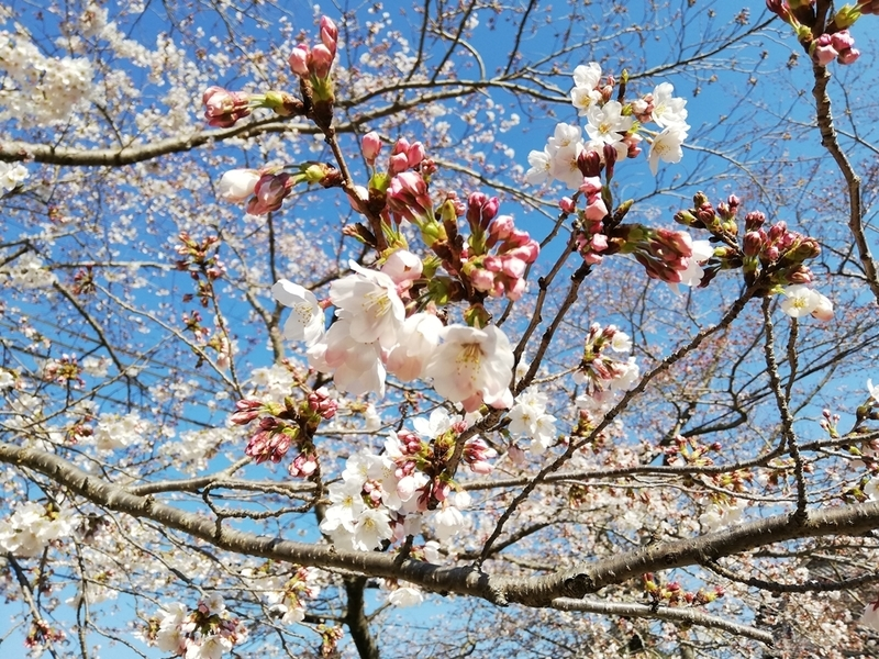 HUAWEI P20liteで桜を撮影した画像