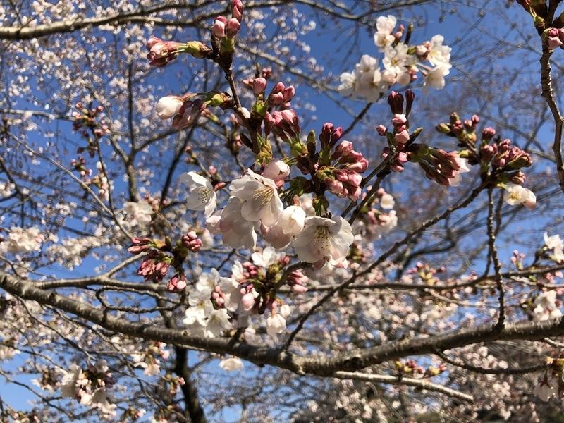 iPhoneXで桜を撮影した画像