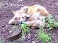 [動物][キツネ]キツネさん(2)