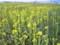 福島潟の菜の花畑