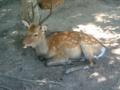 [旅行]宮島:やはり鹿ヽ(ゝω・)ノ