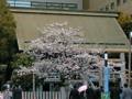 桜(`・ω・´)