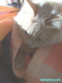 [cat]ひざの上と毛布と猫