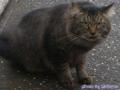 [cat]耳毛がすごかった猫。引きなので画質悪いぞ