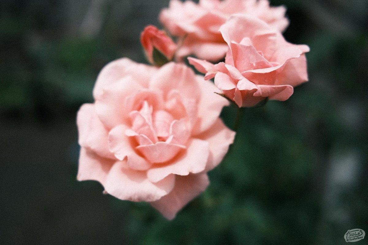 ピントが外れたバラの花