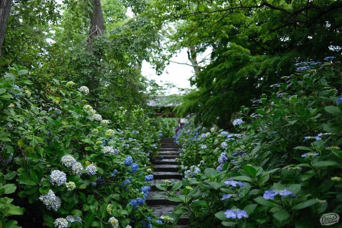 紫陽花に囲まれたお寺の参道