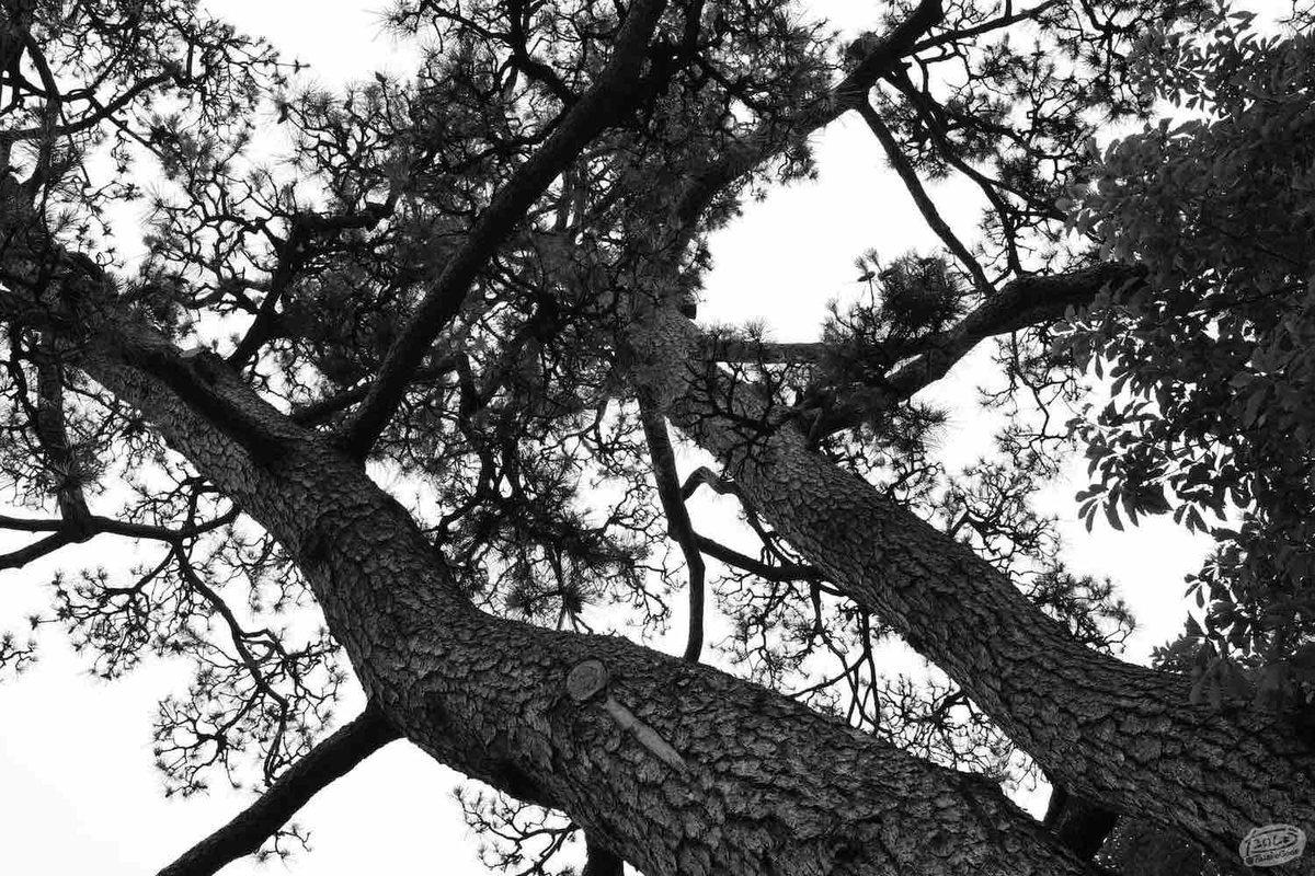 二木の松(武隈の松)