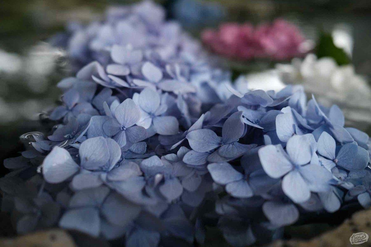 浮かぶ紫陽花