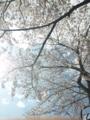 寝転んで桜!