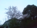 だいぶ散ってもーた家の桜
