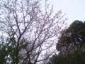 家の桜はまだ