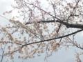 寝転んで桜