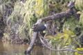 [鳥]シロハラクイナ