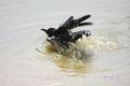 [鳥]ハシブトガラス