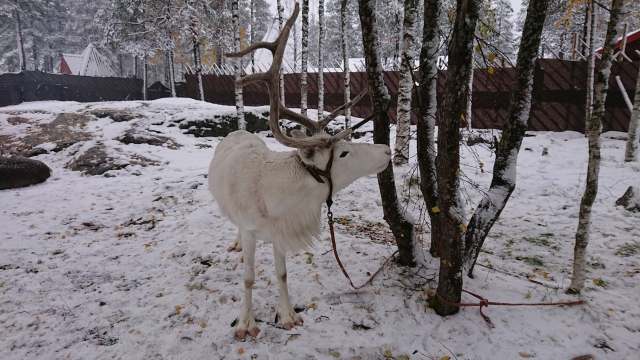 白いトナカイ(フィンランド)