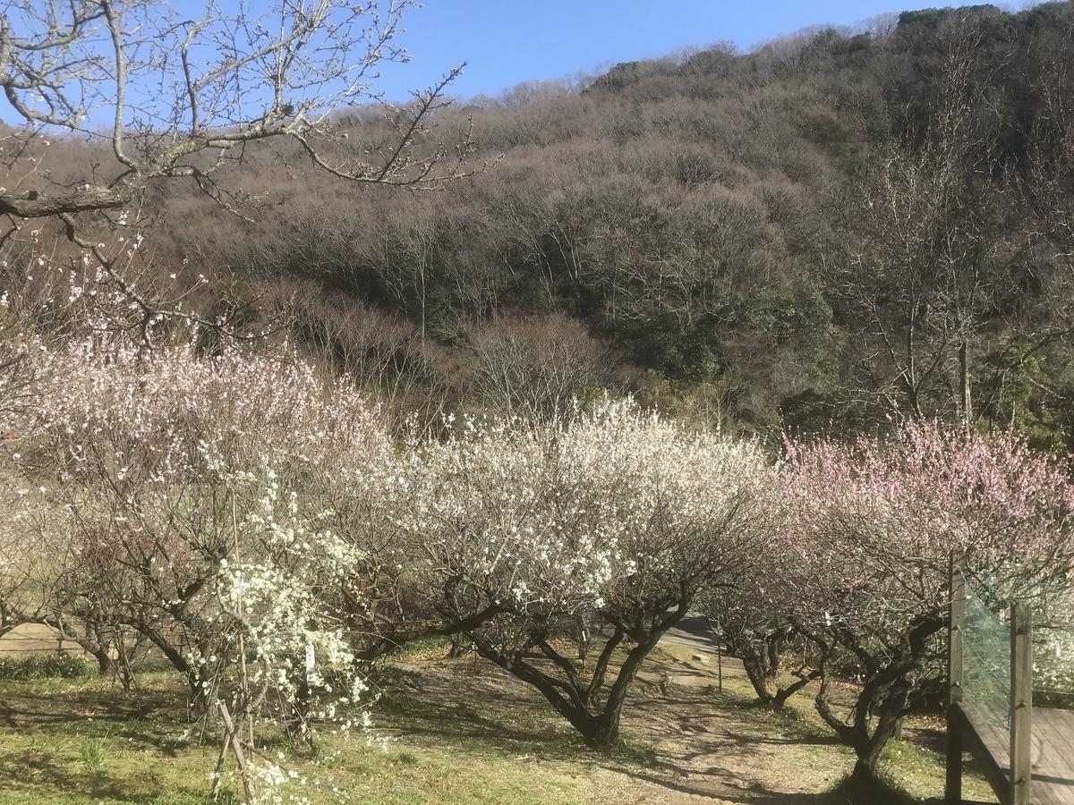 たくさんの梅の木