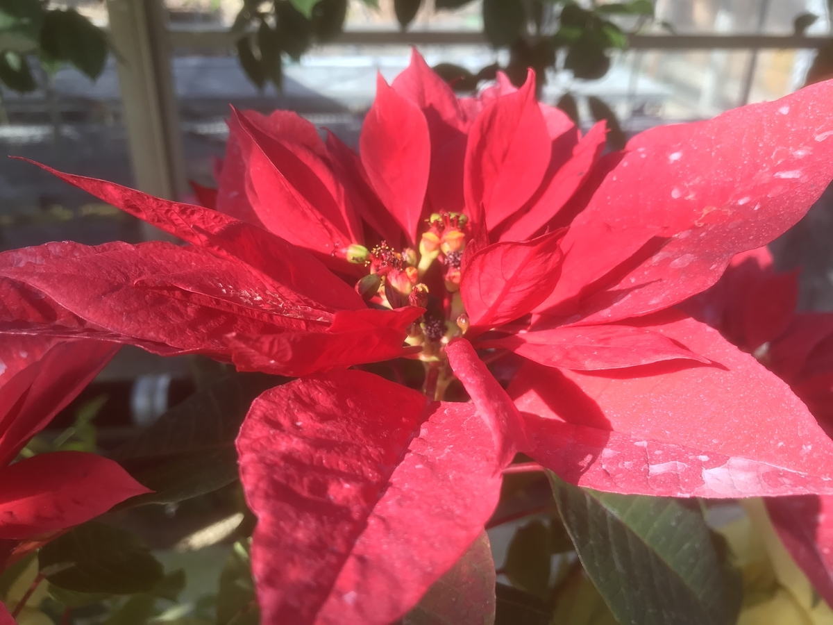 温室の中の赤いハイビスカス
