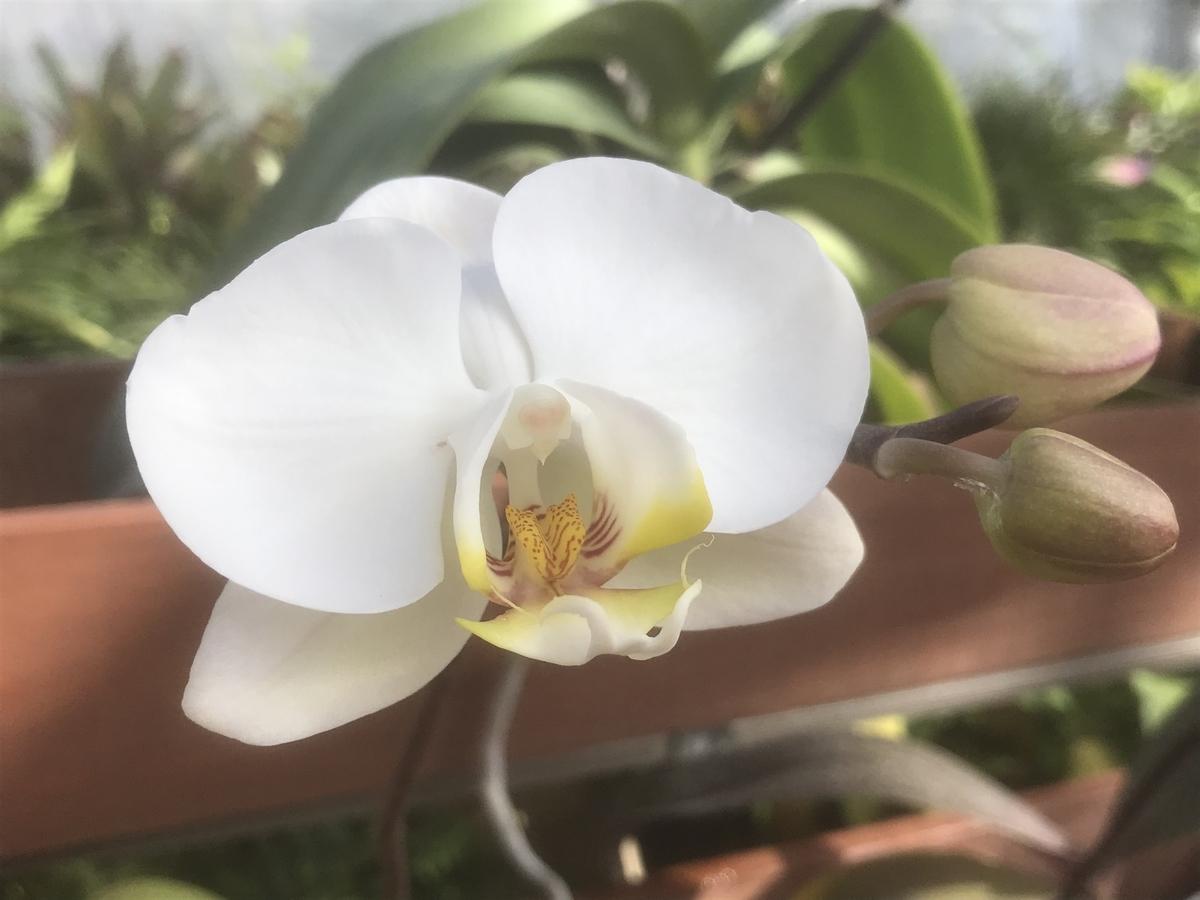 温室の中の白の胡蝶蘭