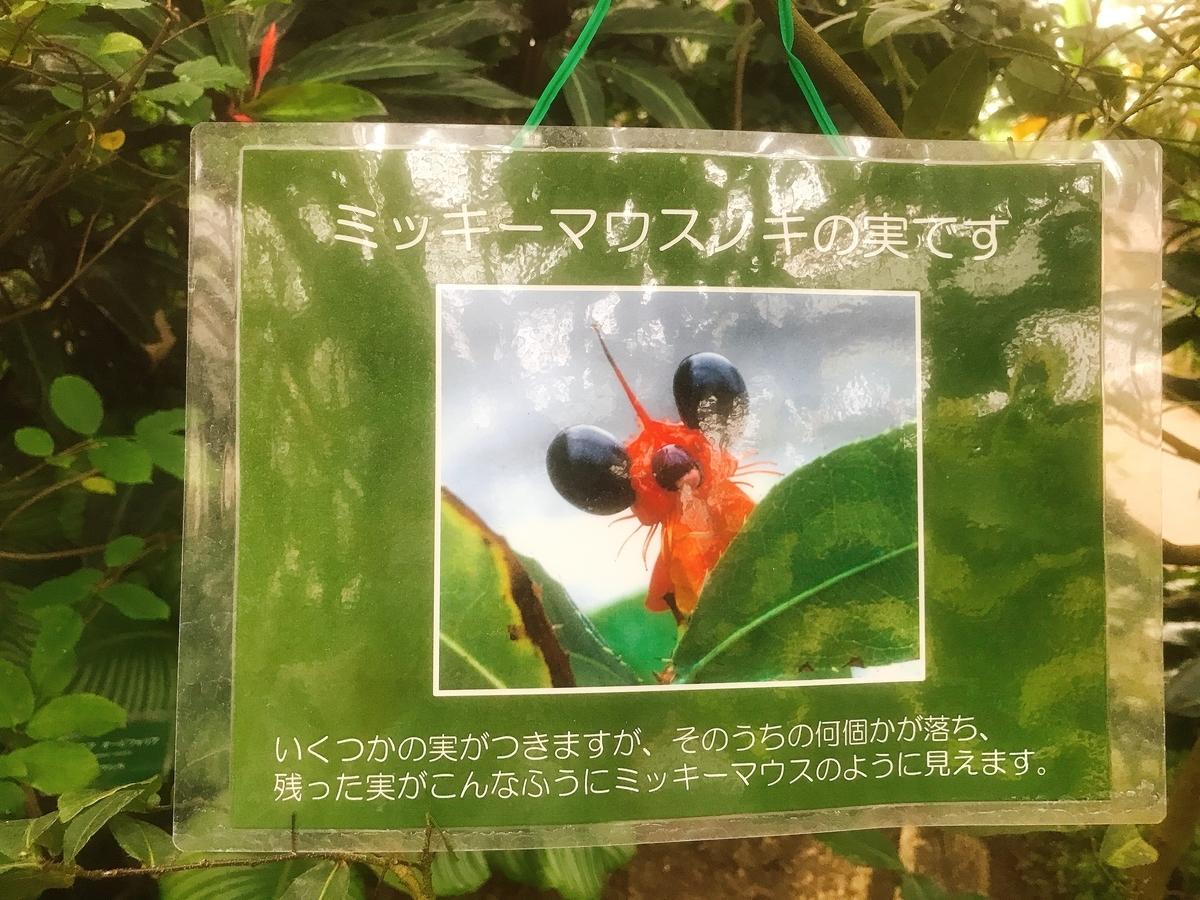 ミッキーマウスの木の実(オクナ科)