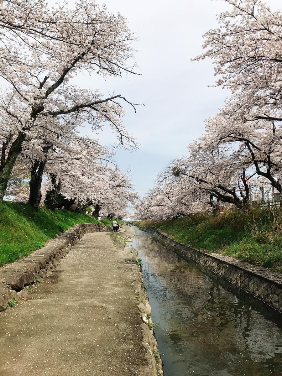 高田千本桜(大中公園より)