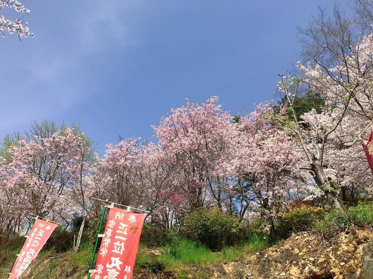「丸高稲荷神社」にあるたくさんの鳥居の右の桜