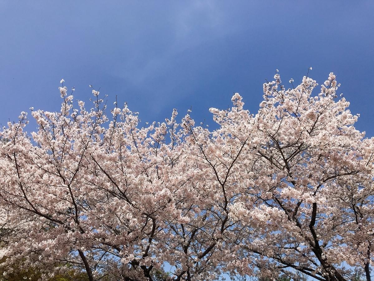 頂上付近の桜