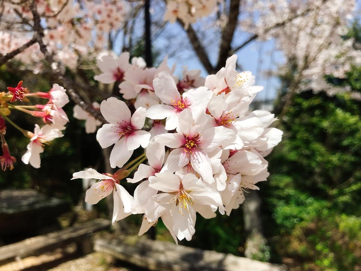満開になった桜の花びら