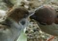 京都新聞写真コンテスト スズメの給餌