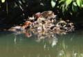 京都新聞写真コンテスト カイツブリの巣作り