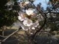 廿日市市住吉堤防桜並木の桜
