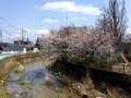 廿日市市 可愛川の桜