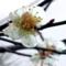 [梅の開花][高松]