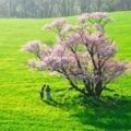 [桜][京都]