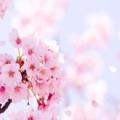 [【京都桜】]