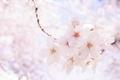 [さくら][春][春の日][桜の花]