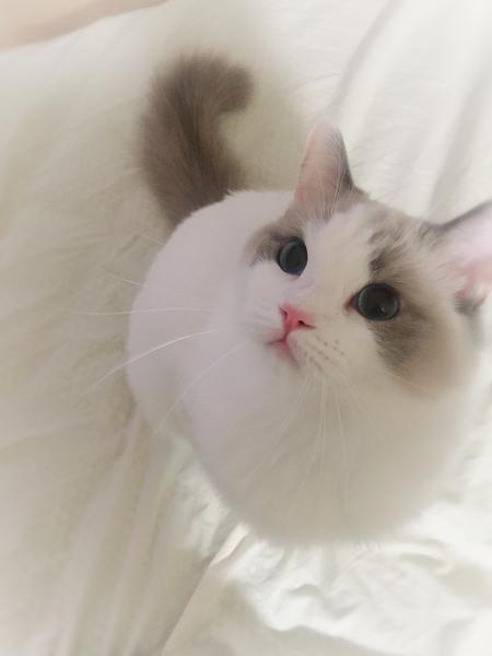 ラグドール メス猫