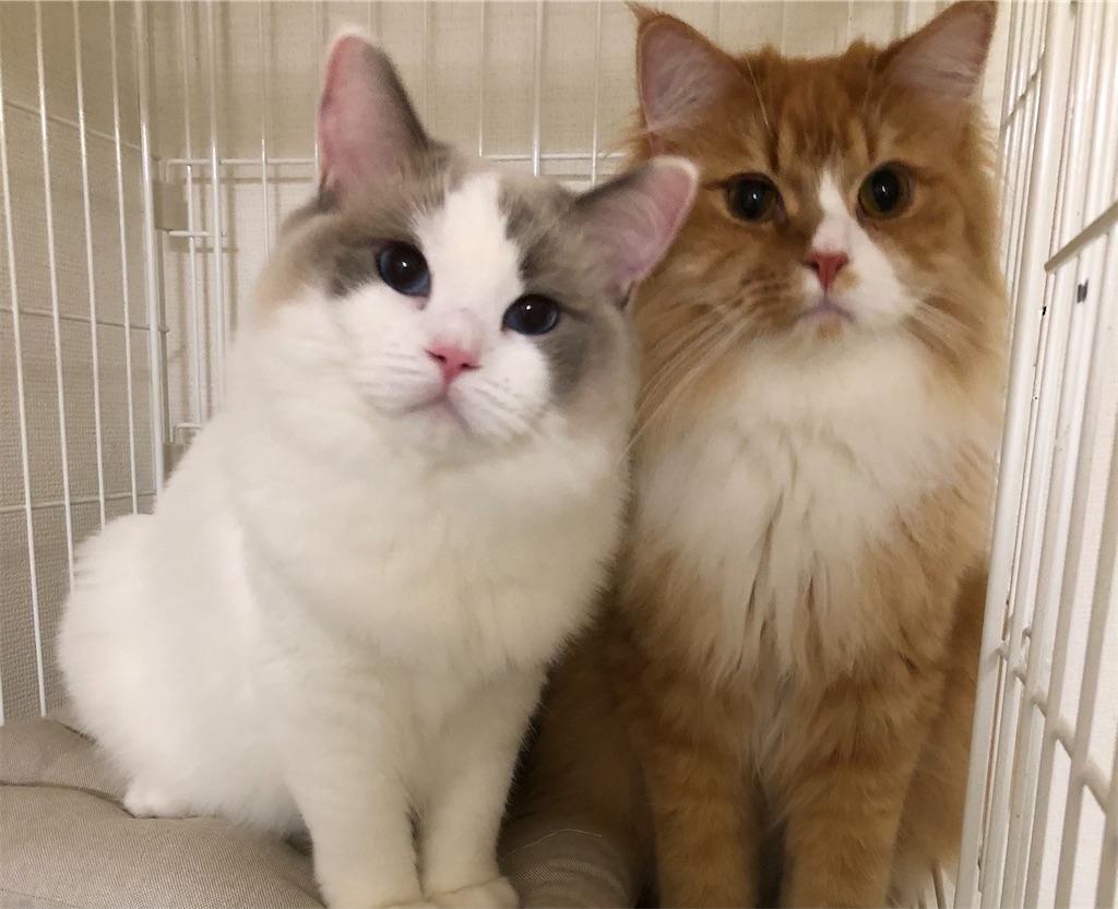 メインクーン ラグドール 猫
