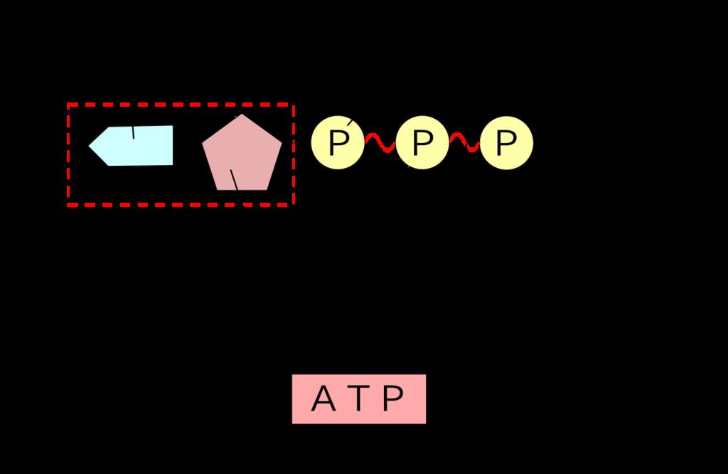 認知症とATPの関係