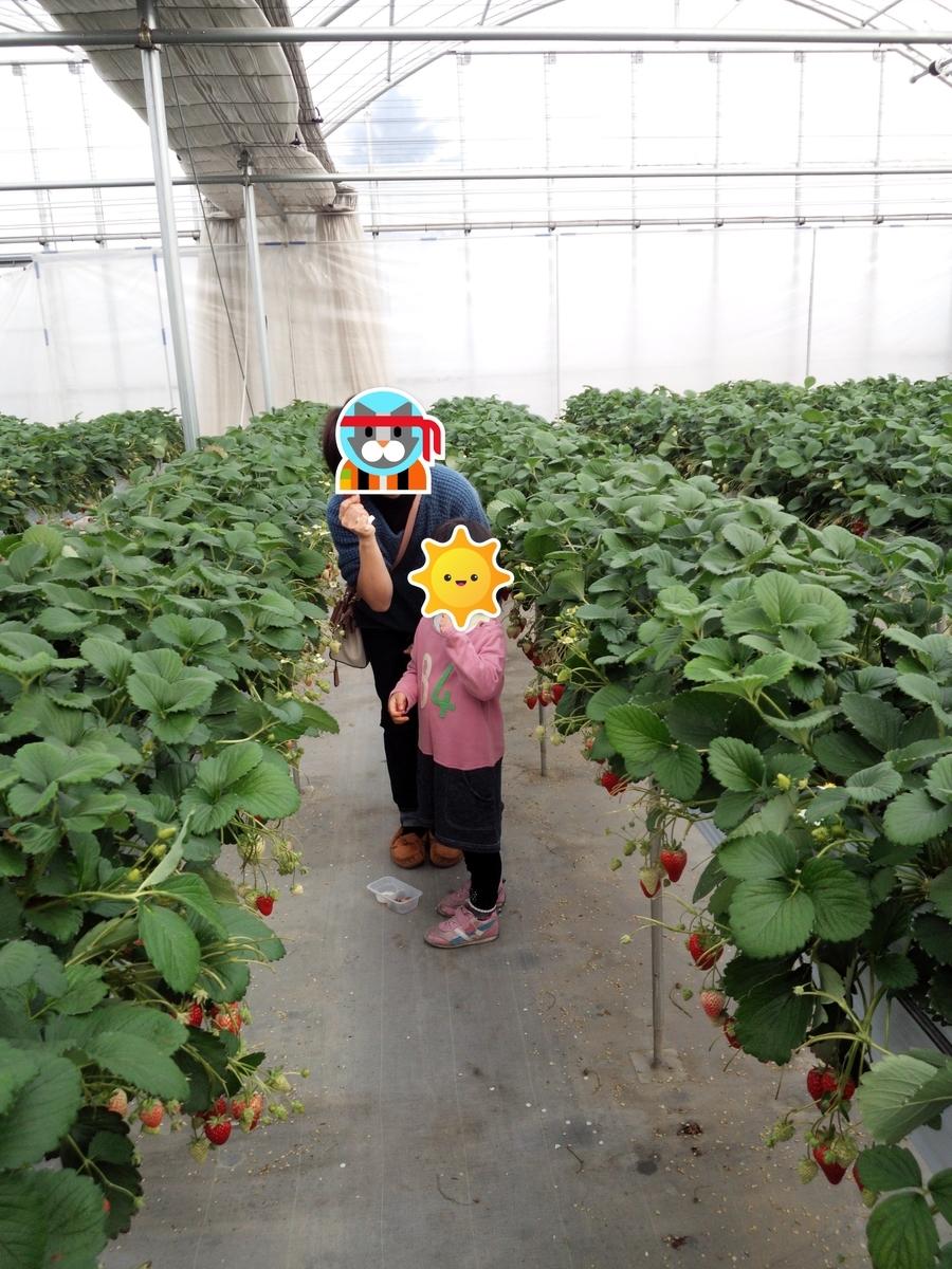 イチゴ狩りを体験することで家族の思い出にもなりますね!