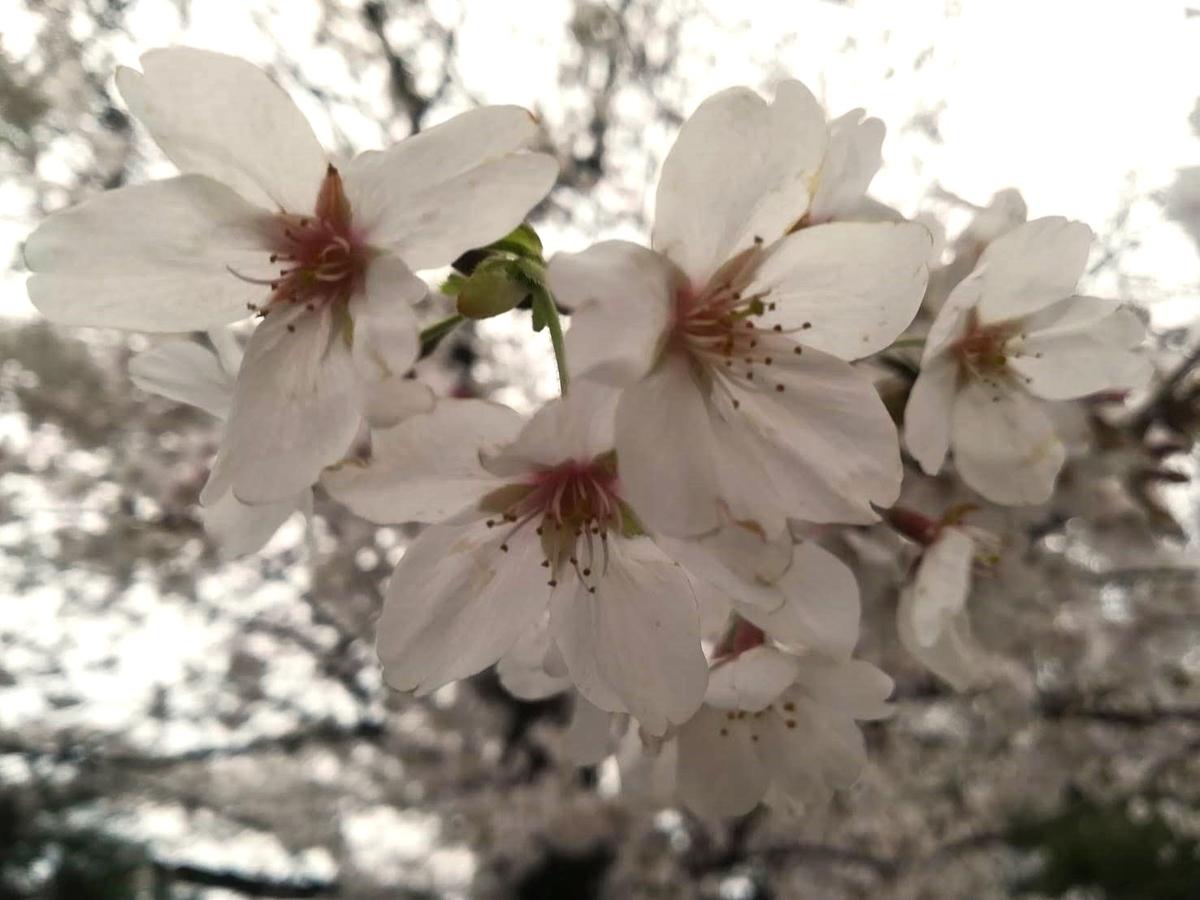 東京の桜はこれから見頃を迎えます!