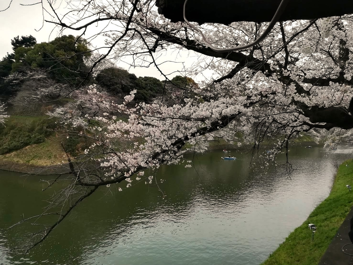 千鳥ヶ淵の桜はこれから満開を迎えますよ!お見逃しなく!