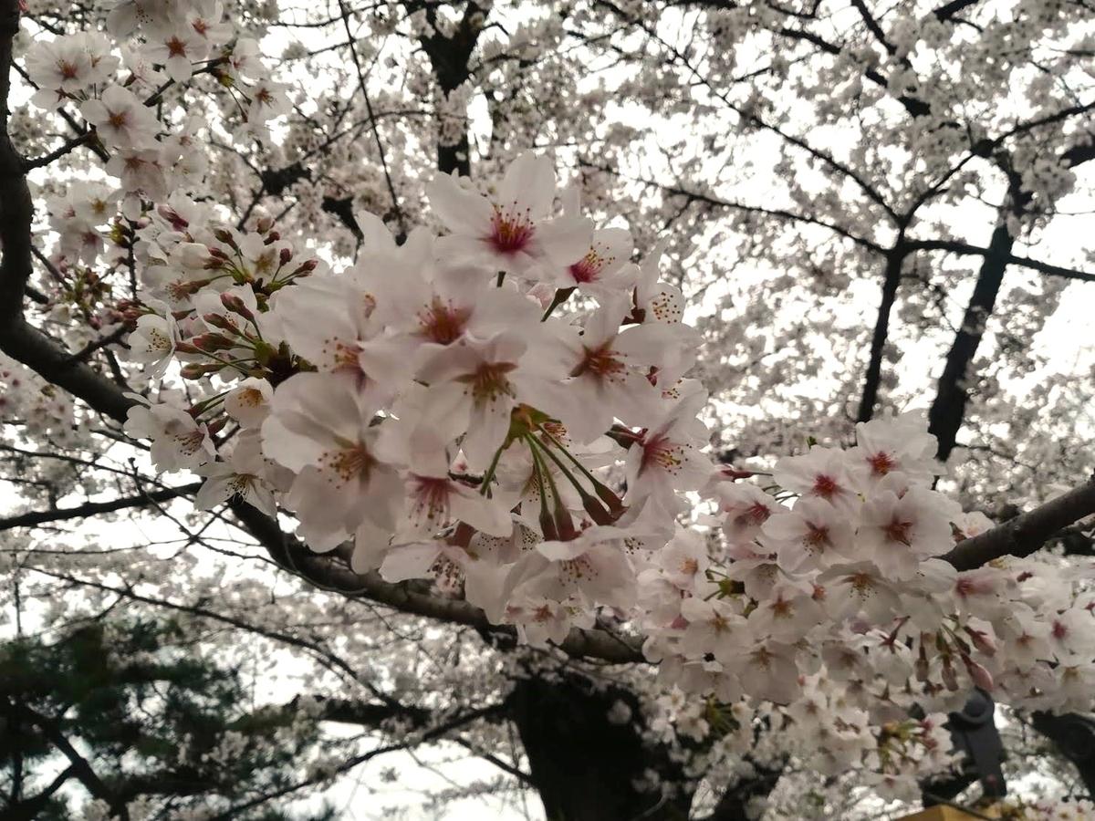 桜の美しさは日本が誇る究極の美のひとつだと思います