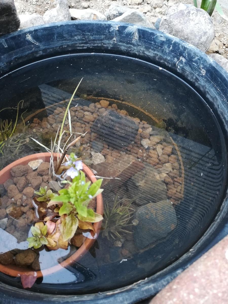 メダカビオトープをやり直してしばらくすると水が透明に輝いてきました