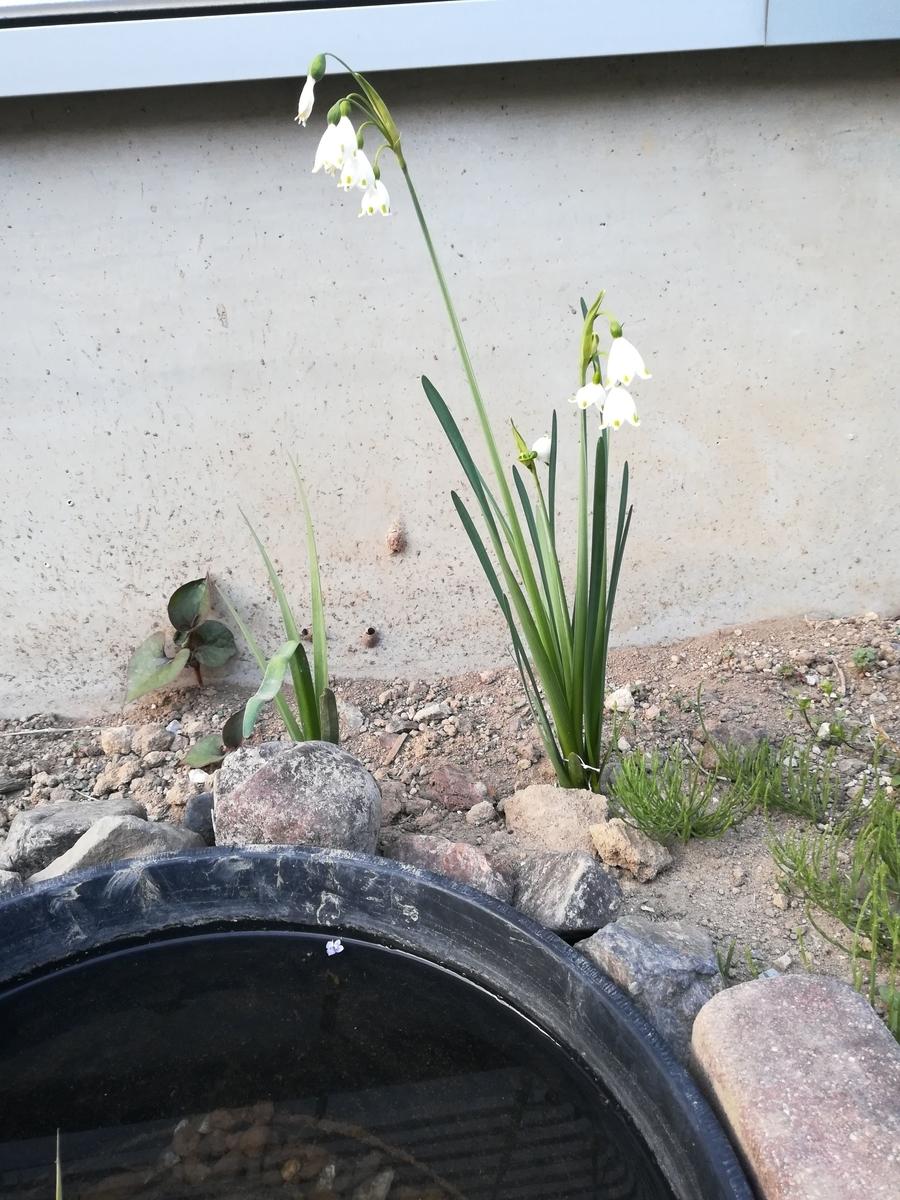 メダカのビオトープのそばにも花が咲きました