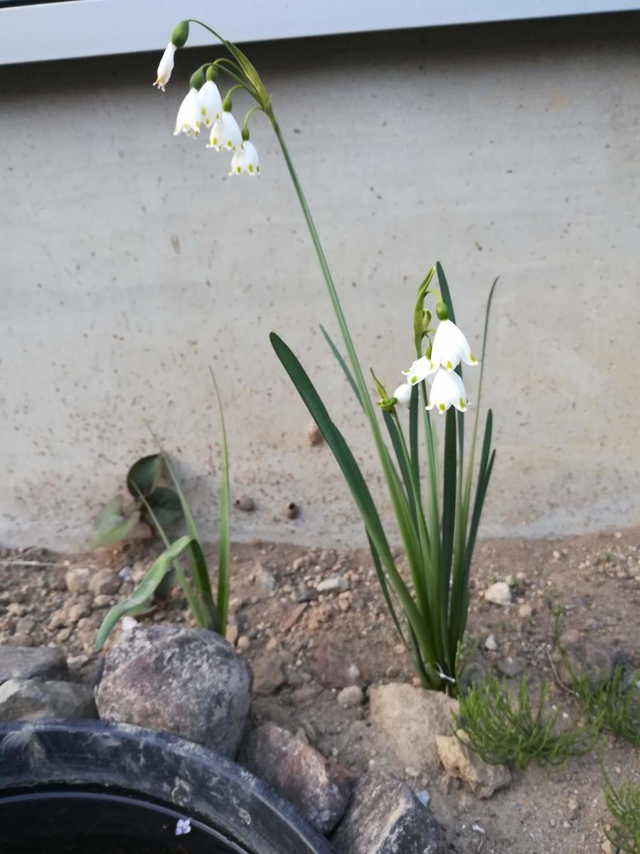 スズランスイセンが咲きました