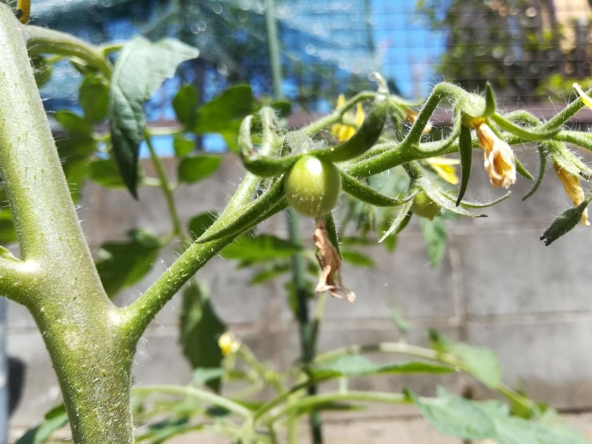 中玉トマトはちゃんと丸っこい形しています