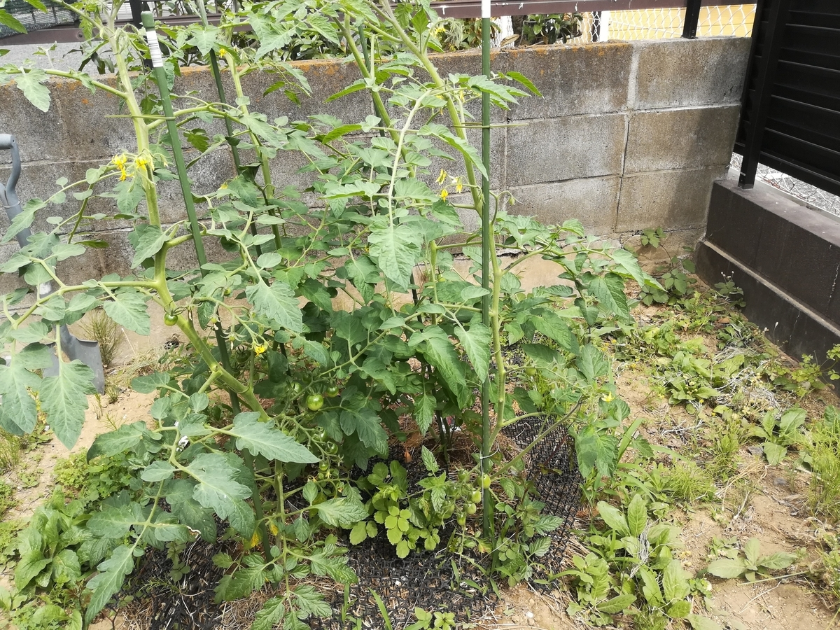ミニトマトたちの身長が1mくらいになりました!