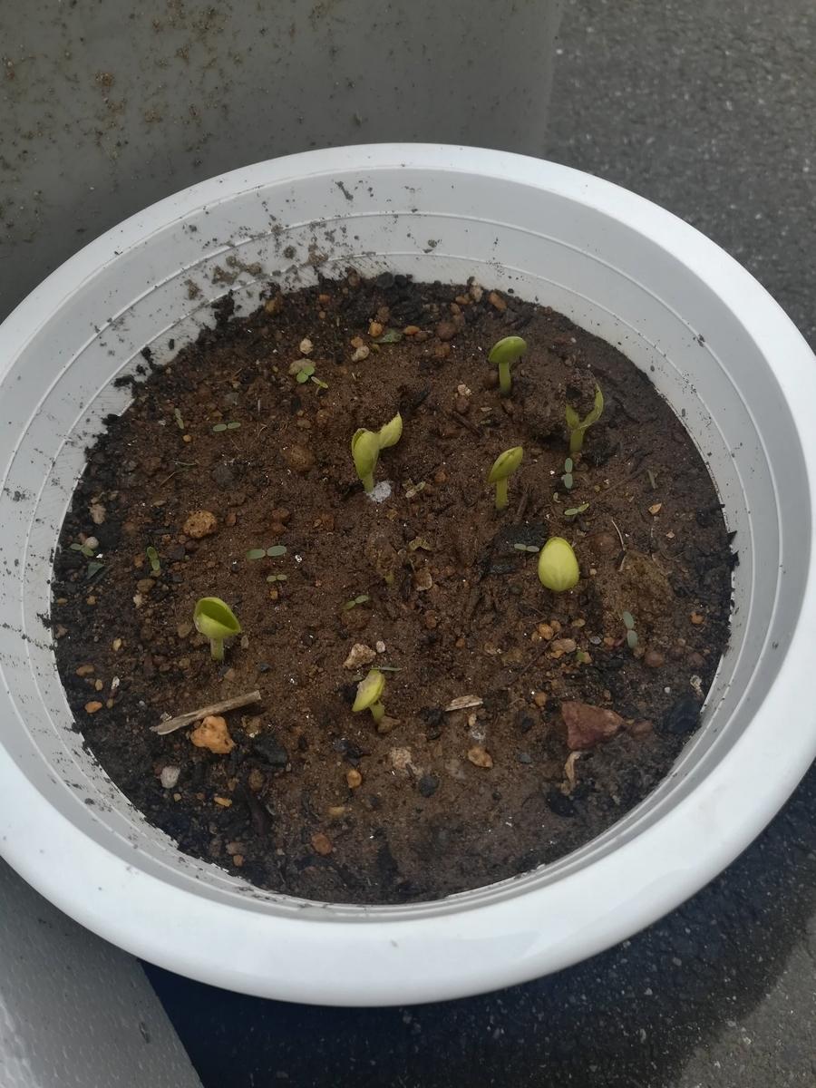 紅小玉スイカの種が発芽しました\(^_^)/