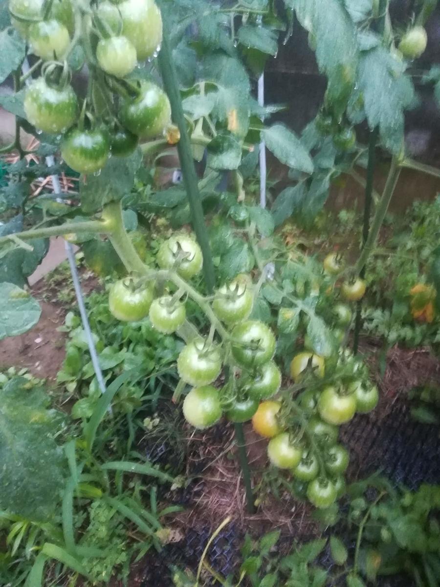 中玉トマトももうすぐ赤く熟します!